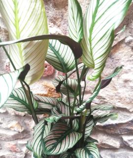 planta d'interior, fullatge intens, regal pefecte, amics de les plantes