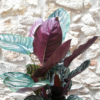 calathea ornata, planta d'interior, llum natural, regar un cop a la setmana